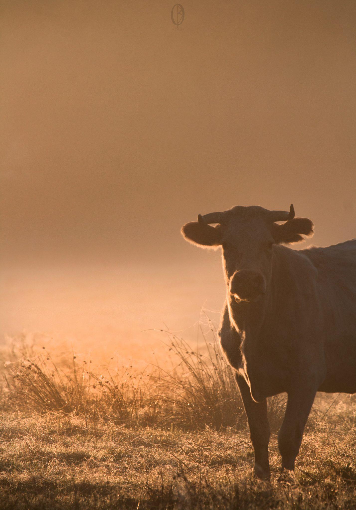 Animaux - Vache solitaire lever de soleil 151017 copie